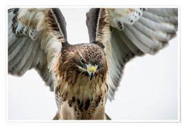 Premium-Poster  Red-tailed hawk (Buteo jamaicensis), bird of prey, England, United Kingdom, Europe - Janette Hill