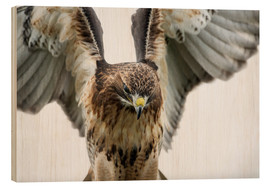 Holzbild  Red-tailed hawk (Buteo jamaicensis), bird of prey, England, United Kingdom, Europe - Janette Hill