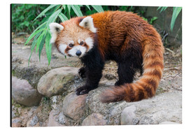 Alubild  Red Panda (Ailurus fulgens), Sichuan Province, China, Asia - G & M Therin-Weise