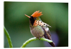 Bob Gibbons - Tufted coquette hummingbird