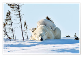Premium-Poster  Polar bear mother and cubs - P. Marazzi