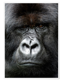 Premium-Poster  Silverback gorilla looking intensely, in the Volcanoes National Park, Rwanda, Africa - Matt Frost