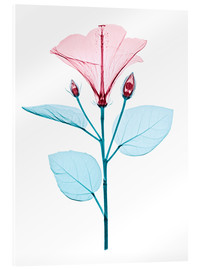 Acrylglas  Chinese hibiscus flower, X-ray - Brendan Fitzpatrick