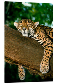 Acrylglasbild  Jaguar resting in a tree - William Ervin