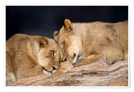 Premium-Poster African lions
