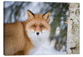 Leinwandbild  Red fox in the snow - P. Marazzi
