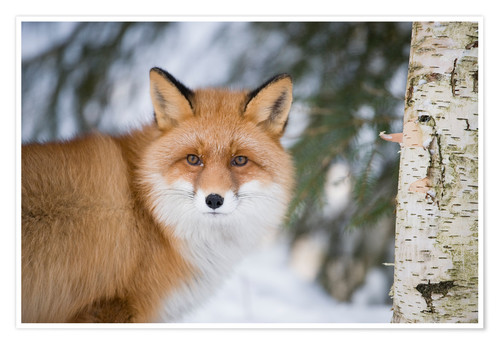 Premium-Poster Red fox in the snow