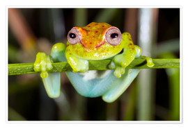 Premium-Poster Neotropical Spotted Treefrog, Ecuador