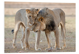 Hartschaumbild  African lions showing affection - Tony Camacho