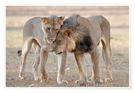 Poster African lions showing affection