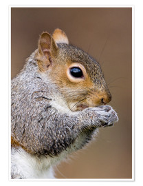 Poster Grey squirrel