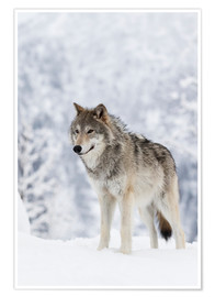 Poster  Tundra Wolf im Schnee - Doug Lindstrand
