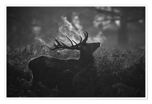 Premium-Poster A large male deer stag bellows out in a cold winter landscape of Richmond park, London.