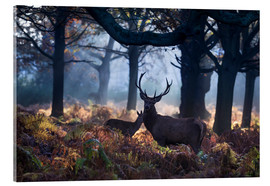 Acrylglasbild  A red deer stag in a misty forest in Richmond park, London. - Alex Saberi