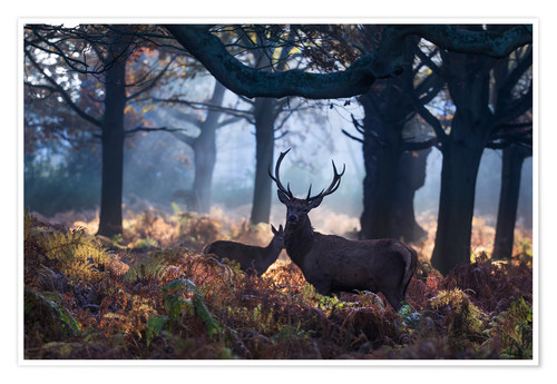 Premium-Poster A red deer stag in a misty forest in Richmond park, London.