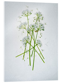 Acrylglas  Allium ursinum, Heilkraut - Axel Killian