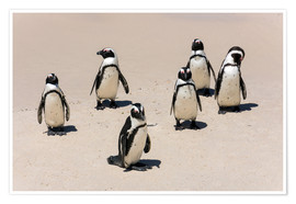 Premium-Poster  Gruppe afrikanischer Pinguine, Boulders Reserve, Boulders Beach - Catharina Lux