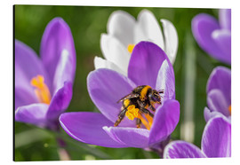 Alubild  Spring flower crocus and bumble-bee - Remco Gielen