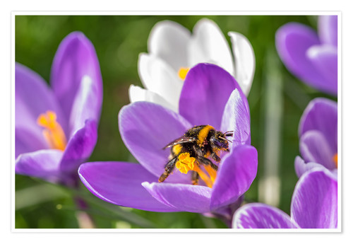 Premium-Poster Spring flower crocus and bumble-bee