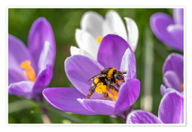 Remco Gielen - Spring flower crocus and bumble-bee