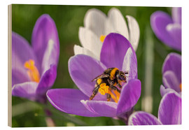 Holzbild  Spring flower crocus and bumble-bee - Remco Gielen