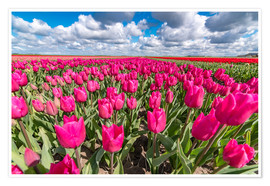 Premium-Poster Beautiful dutch Field of pink tulips