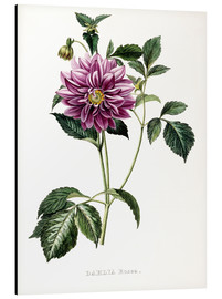 Alubild  Dahlia Rosea - French School