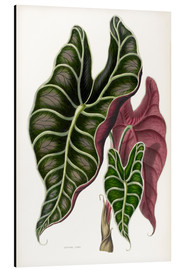 Alubild  Alocasia lowii - Sowerby Collection