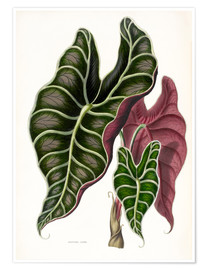 Poster Alocasia lowii