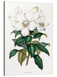 Alubild  Rhododendron calophyllum - Sowerby Collection