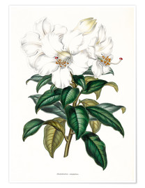 Poster Rhododendron calophyllum