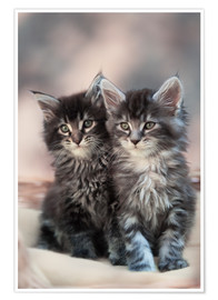 Premium-Poster Maine Coon Kittens 3