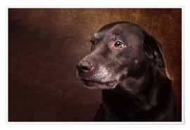 Premium-Poster Alter Chocolate Labrador Portrait