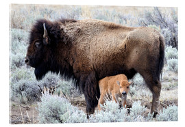 Acrylglas  Bison Kuh mit Kalb, Yellowstone Nationalpark