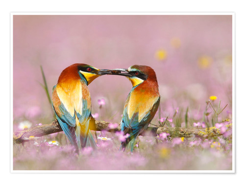 Premium-Poster Male European bee-eater (Merops apiaster) offering female a bee, Spain, Andalusia, Seville