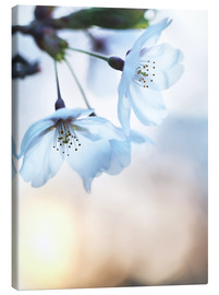 age fotostock - Artistic closeup of cherry blossom flower at sunrise with the sun in the background,