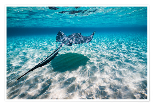 Premium-Poster Southern stingrays on the sandbar in Grand Cayman, Cayman Islands.
