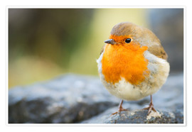 Premium-Poster  Robin, garden bird, Scotland, United Kingdom, Europe - Karen Deakin