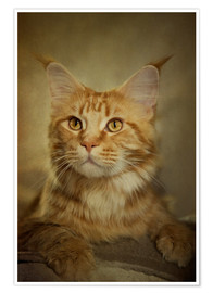 Poster Maine Coon